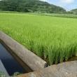 見島発 【八町八反の稲の生育状況】 (^_^)