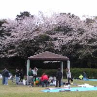 【桜島と桜08】七ツ島公園運動広場の桜