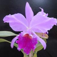 C.labiata(×sib),Rlc.George King'Serendipity'AM/AOS
