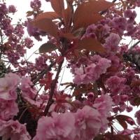 八重桜 ボタンザクラ