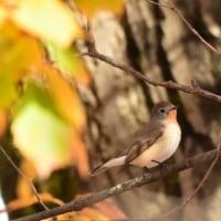 秋色のニシオジロビタキ