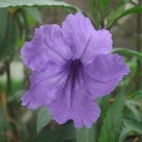 ルエリアの花
