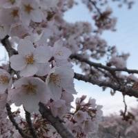 地元のお花見(横河川、出早神社)