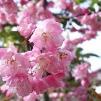 春の花 ハナカイドウ 2