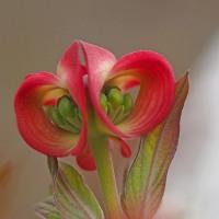 開く前の花水木