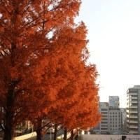 落葉松並木が色付く