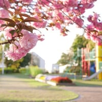 いつもの菜の花・・・ 八重桜と♪