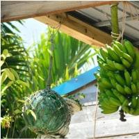 軒下のバナナ