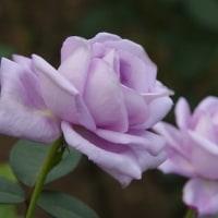 神代植物園の秋薔薇たち