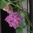 昨日と今日のちょこっと散歩で見た花。(ヒマワリ ヒルガオ アサガオ)