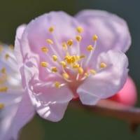 アンズの花、シダレザクラ、ポピー