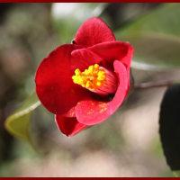 花・鉢植えのヤブツバキ