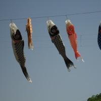 たくさんの鯉のぼり