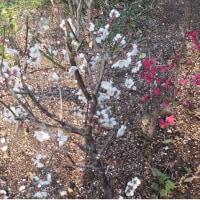 紅白の梅の開花
