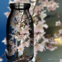 朝ラン & 桜