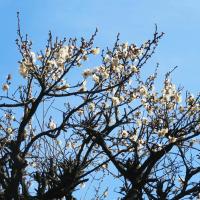 隆興寺の梅の花がきれい、大学は来週から期末試験…