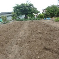 わが菜園のピーマン定植