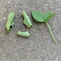 虫(オトシブミ)