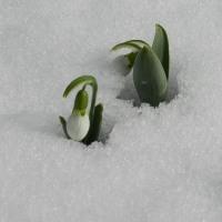 雪の中から顔を出した