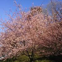 道の駅 いちはら  桜🌸