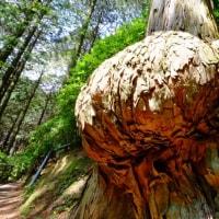 大興善寺 オッパイの木