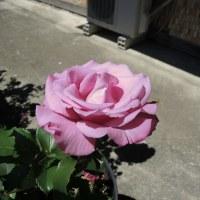 5月のバラ (写真)
