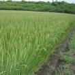 稲の花 🍚