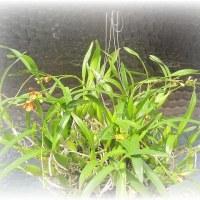 小型の原種ラン Epidendrum lividum
