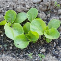 「沖縄島オクラ」を蒔種、「紫とうがらし」苗の移植