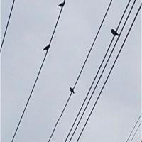 椋鳥 巣立ち