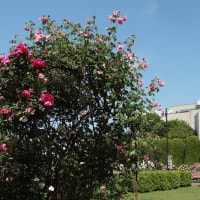 タカナシ乳業のバラ