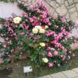 薔薇の話題パート1