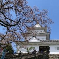 小田原城と桜