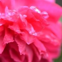 薔薇の、、雫。。。。