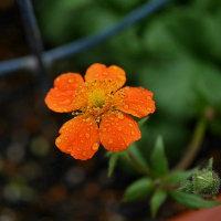 冷凍大根と... だいこん草の花