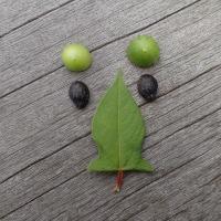 今日の浮島ケ原自然公園:ゴキヅルの実とミゾソバの葉で造った顔