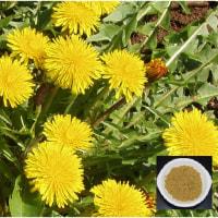 「腎臓病」を、野草タンポポが改善します。