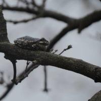 木の上で鳴く声、アマガエルでした