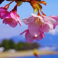 琵琶湖大津の桜