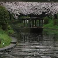 京都伏見十石舟・三十石舟の桜