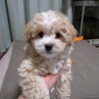 トイプードル クリーム&ホワイト 子犬の紹介