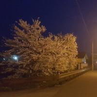 夜のまちなか桜回廊