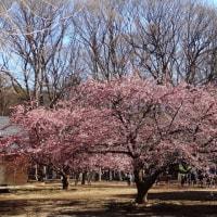 代々木公園の河津桜 2017初春
