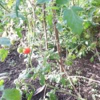 二度咲き金木犀とミニトマト