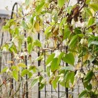 メジロが好む冬咲きクレマチス