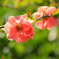 真っ赤な木瓜とピンクの木瓜が咲いてる