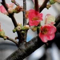 寒木瓜(かんぼけ)という花