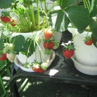 イチゴ「カレンベリー」は未完成品種では?-