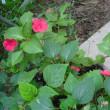 少し元気回復 インパーチェンスの花