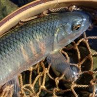 3か月ぶりの釣りはオイカワ